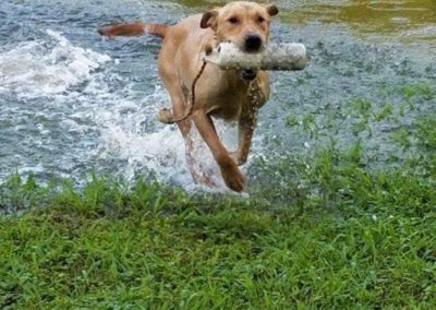 shawnee Hills Retrievers retrieving
